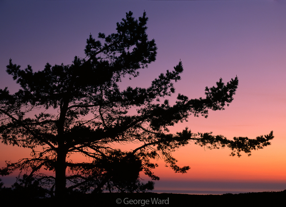 Bishop Pine Silhouette,Phillip Burton Wilderness, Point Reyes National Seashore, California