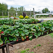 Rows of hydroponic strawberries being grown at the Bramble Patch Berry Gardens near Stanthorpe, Queensland. The Bramble Patch specializes in jams, conserves, icecreams, and other foods based on a wide variety of locally grown berries.