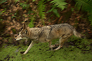 The critically endangered red wolf (Canis rufus), Florida.