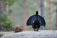 24.04.2009.Capercaillie (Tetrao urogallus) cock displaying in the forest surrounded by females. Courting. Lekking behaviour..Bergslagen, Sweden.