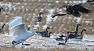 Photo Randy Vanderveen<br /> Grande Prairie, Alberta<br /> 30/03/10<br /> Like a group of school yard bullies, some recently returned swans scare away Canada geese from a small pothole filled with water on a field east of Grande Prairie. The large white birds can be very territorial and once they begin to nest they will even be more protective of their turf even chasing away other swans including last year's young.