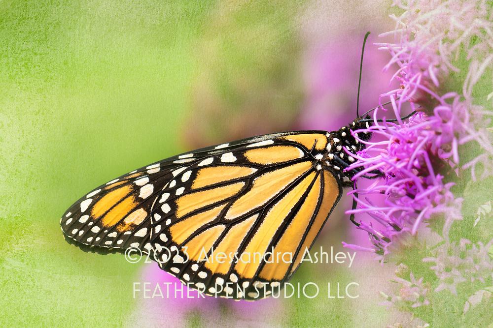 Monarch butterfly, Danaus plexippus, nectaring on liatris (blazing star) in native plant garden. The monarch is an iconic pollinator species.