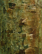 The bark of a Gumbo Limbo tree, Everglades National Park, Florida
