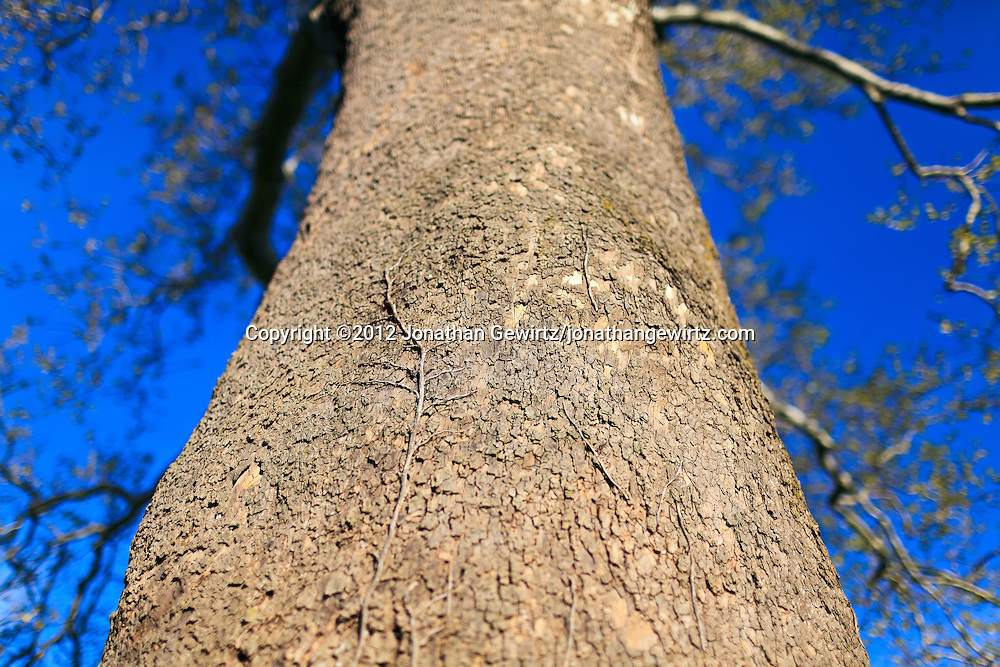 The trunk of a tall sycamore tree. WATERMARKS WILL NOT APPEAR ON PRINTS OR LICENSED IMAGES.