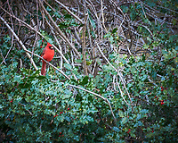 Northern Cardinal in a Holly bush. Image taken with a Nikon D700 camera and 28-300 mm lens (ISO 1000, 300 mm, f/5.6, 1/60 sec).