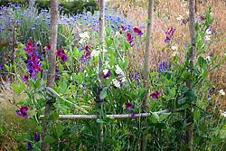Lathyrus odoratus 'Dorothy Eckford' and Lathyrus odoratus 'Matucana' in the cutting garden. Sweet peas