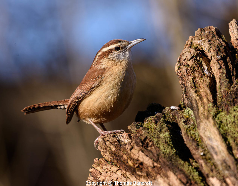 The elegant stance of a Carolina Wren makes it look like it owns the world and knows it.