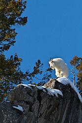 Mountain Goat, Cliff, Snake River Range, Alpine, Wyoming