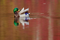 """""""Preening Mallard""""<br /> A male mallard preening in Walden Pond with red reflections of fall colors on the water."""