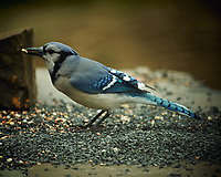 Blue Jay. Image taken with a Nikon D4 camera and 600 mm f/4 VR lens (ISO 450, 600 mm, f/4, 1/800 sec).