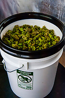 After drying, the stems are trimmed off and the pot is stored in a bucket to dry it further. Medicine Man Denver is the single largest legal medical and recreational marijuana dispensary in Denver, Colorado USA. Their 20,000 sq. ft. facility will soon double in size. Radio frequency ID tags and 65 video cameras allow the State of Colorado to track inventory through the growing process and all plant weight is accounted for. Medicine Man won the High Times' Cannabis Cup for best sativa (Jack Herer). 20-30 strains are available for sale daily.