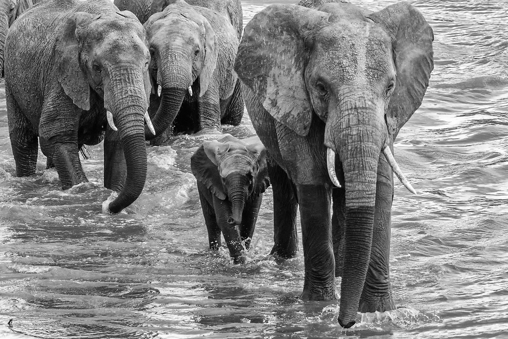 Elephants crossing Mara River, Serengeti, Tanzania