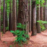 Redwood Forest - Warburton - Victoria - Australia