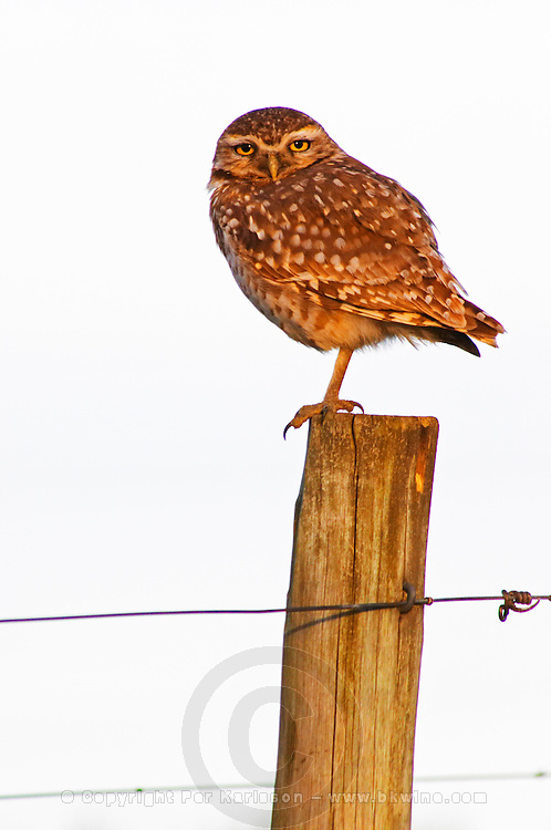 An owl Burrowing Owl, Speotyto cunicularia sitting on a wooden pole in the vineyard at sunset. Vinedos y Bodega Filgueira Winery, Cuchilla Verde, Canelones, Montevideo, Uruguay, South America