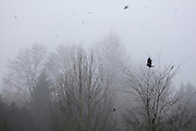 An American crow (Corvus brachyrhynchos) takes off from its foggy perch in a tree along North Creek in Bothell, Washington, joining thousands of other crows on their way to their night roosting area. An estimated 10,000 crows roost in the area.