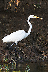 Great egret fishing along river bank photographed from kayak on Trinity River near downtown Fort Worth and the Trinity Trails, Fort Worth, Texas, USA.