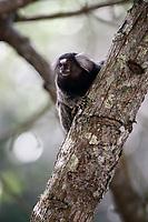 mico sagui Black-tufted Marmoset Callithrix penicillata, also known as the Black-pencilled Marmoset in ilha grande brazil
