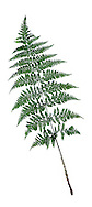 Broad Buckler Fern - Dryopteris dilitata