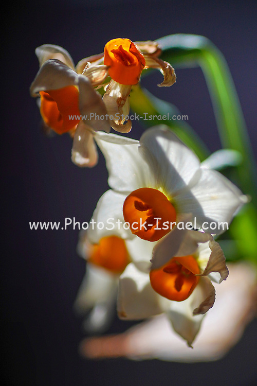 Selective focus of Daffodil flowers (Narcissus tazetta) in a garden
