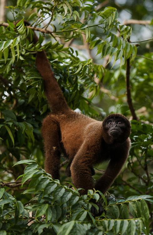 Common Woolly Monkey<br /> Lagothris lagothricha<br /> Amazoonico Animal Rescue Center<br /> Amazon Rain Forest<br /> ECUADOR.  South America<br /> Range: Upper Amazon Basin of Colombia, Ecuador, peru and Brazil west of Rios negro.