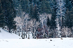 Wolves, Druid Pack, Lamar Valley, Yellowstone