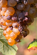 grapes drying on the vine like raisins, a bee domaine pelaquie rhone france
