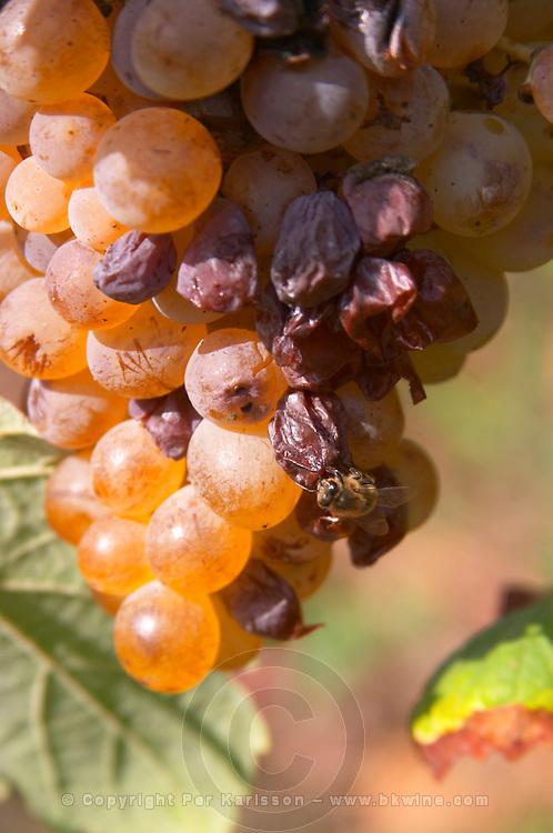 grapes drying on the vine like raisins, a bee domaine pelaquie rhone france