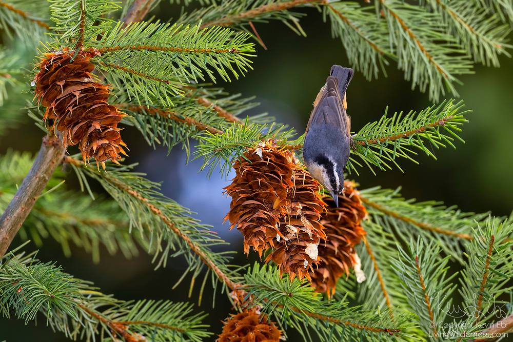 A red-breasted nuthatch (Sitta canadensis) forages for seeds in the cone of a Douglas-fir tree (Pseudotsuga menziesii) in Snohomish County, Washington.