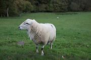 Welsh sheep in Wales, United Kingdom.