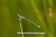 06323-002.02 Citrine Forktail (Ischnura hastata) male in wetland, Marion Co. IL