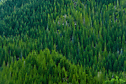 Douglas Fir forest on a mountainside in the Olympic National Forest on the south end of the Olympic Mountain range of Washington, USA