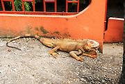 A geen iguana or common iguana (Iguana iguana) on ground. Photographed Arenal Volcano, Costa Rica