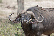Cape buffalo in East African habitat