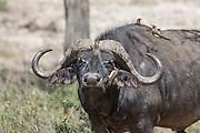 Cape buffalo in East African habitat