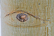 Knot on aspen trunk, Ansel Adams Wilderness, Sierra Nevada Mountains, California USA