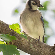 Juvenile blue jay (Cyanocitta cristata) perches on maple tree branch and poses for portrait in late afternoon sunlight. Semifinalist, 2015 Share the View international nature photography competition by Audubon Society of Greater Denver.