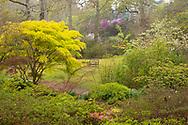 Acers, Azaleas and Magnolias in Exbury Gardens in early spring.  Exbury, Hampshire, UK