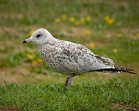 Ring-billed Gull. Mackinac State Park. Image taken with a Nikon D200 camera and 18-75 mm lens.