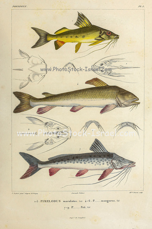 Pimelodus Fish of South America hand coloured sketch From the book 'Voyage dans l'Amérique Méridionale' [Journey to South America: (Brazil, the eastern republic of Uruguay, the Argentine Republic, Patagonia, the republic of Chile, the republic of Bolivia, the republic of Peru), executed during the years 1826 - 1833] Volume 5 Part 1 By: Orbigny, Alcide Dessalines d', d'Orbigny, 1802-1857; Montagne, Jean François Camille, 1784-1866; Martius, Karl Friedrich Philipp von, 1794-1868 Published Paris :Chez Pitois-Levrault. Publishes in Paris in 1847
