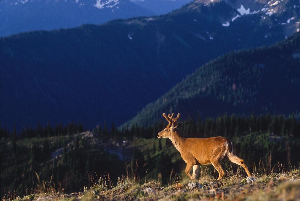 Blacktail deer, Olympic National Park, Washington, USA