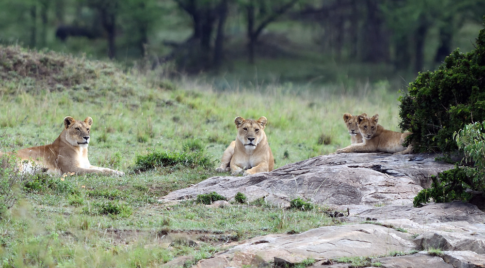 Two female lions (Panthera leo) and two cubs resting. Serengeti National Park, Tanzania.