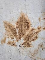 Leaf imprint in concrete