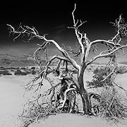 Dead Mesquite Tree - Mesquite Dunes - Death Valley, CA - Infrared Black & White