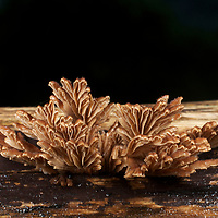 A new unknown (to science) species of coral fungi found in Pang Sida National Park, Thailand. The rich and diverse forests of Thailand are home to numerous unidentified species.