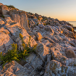 Goldenrod blooms on the rocks in Broad Cove on Appledore Island, Maine. Isles of Shoals.
