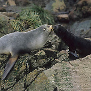 South Georgia Fur Seal, (Arctocephalus tropicalis gazella) Female and pup. South Georgia.