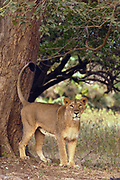 Asiatic Lion (Panthera leo persica) lioness marking territory, Gir National Park, Gujarat, India