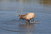 Rocky Mountain bull elk (Cervus elaphus) kicking and splashing water in a lake during the rutting season.  Colorado.