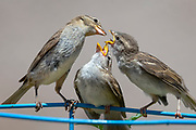 A female house finch feeds her two growing chicks.
