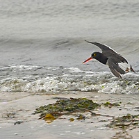 A Magellanic Oystercatchers flies above a beach on New Island, in Britain's Falkland Islands.